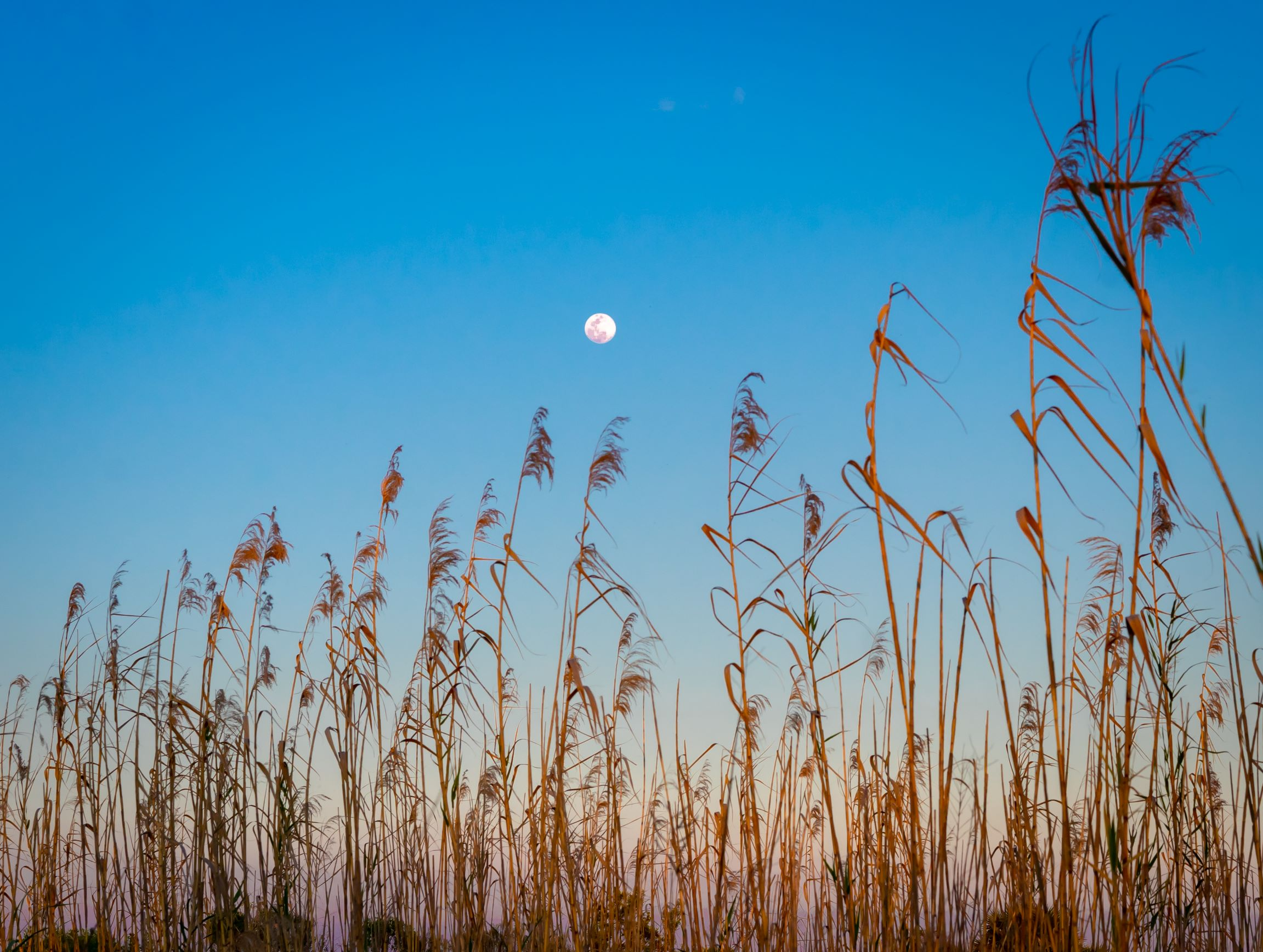 Spring moon, blue sky, golden sea grass swaying.