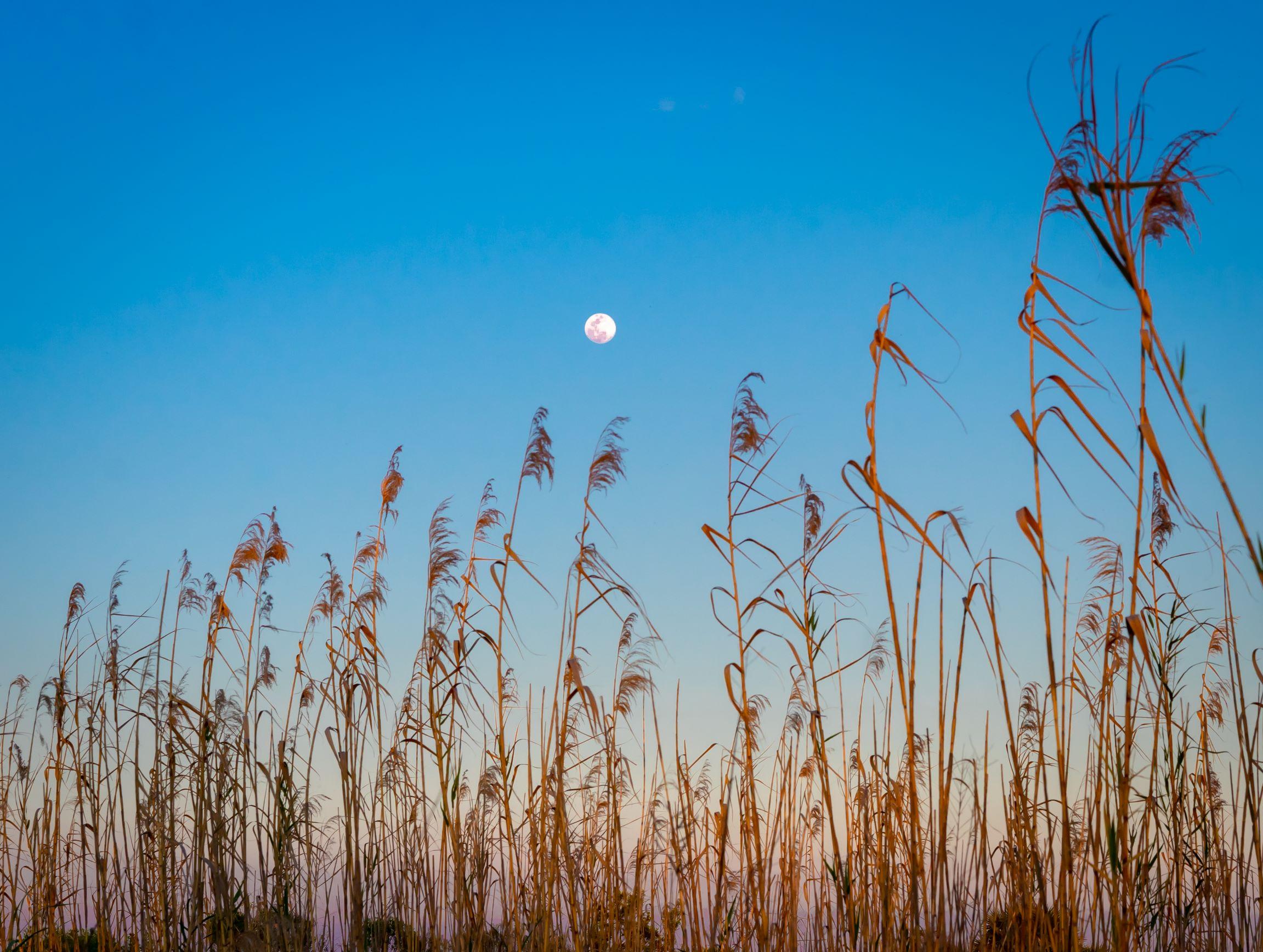 Spring moon, blue sky, golden sea grass swaying.