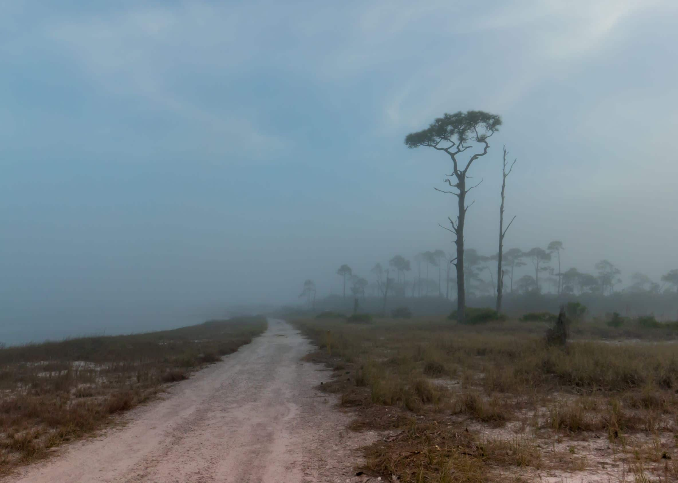 Gravel road with one tall pine tree cuts through Bon Secour Preserve as the fog cover the preserve and fills a turquoise sky.