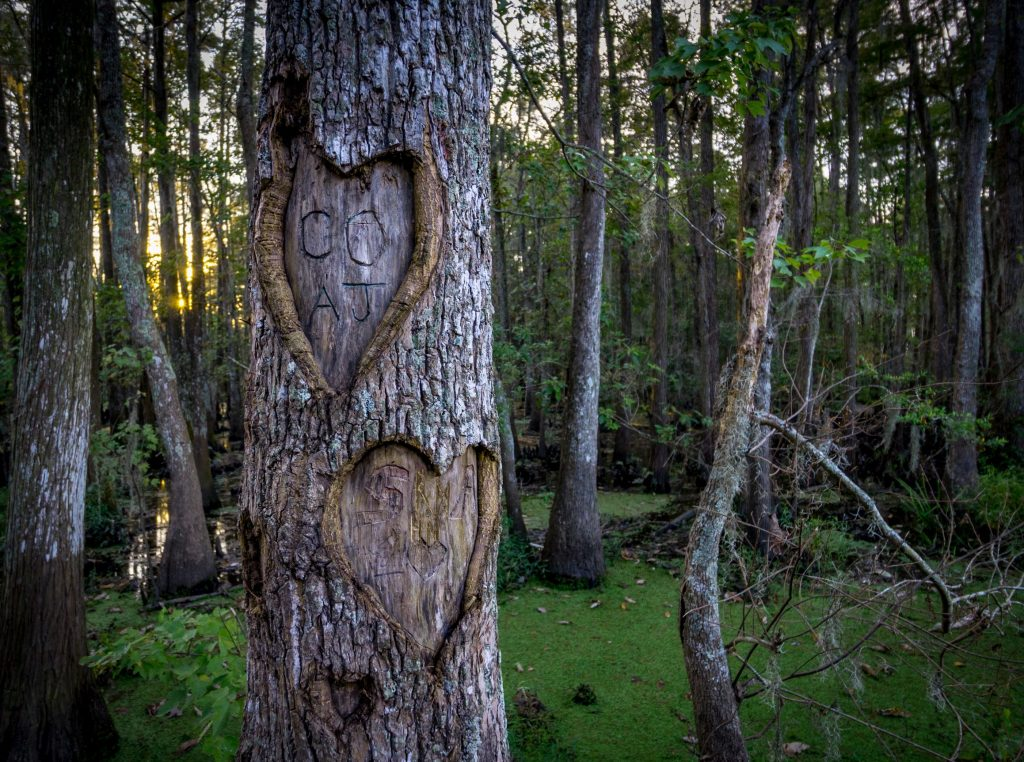 Hearts engraved in trees in a swamp near Ponchatoula, Louisiana at sunset